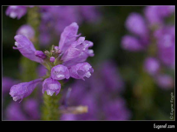Blue Jacaranda Flower