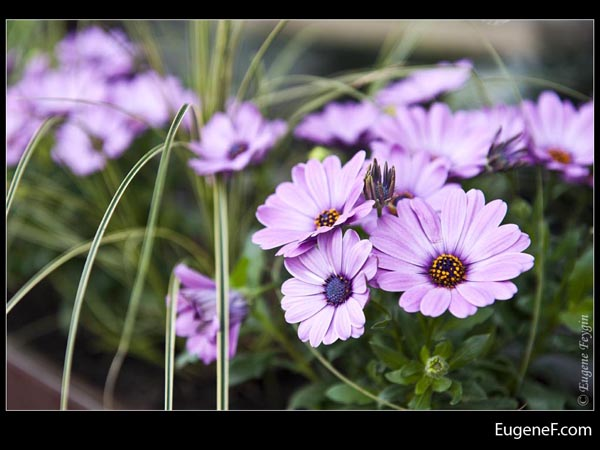 Light Purple Daisies