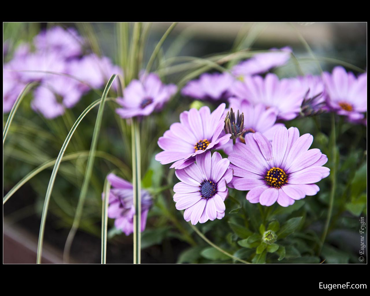Light Purple Daisies