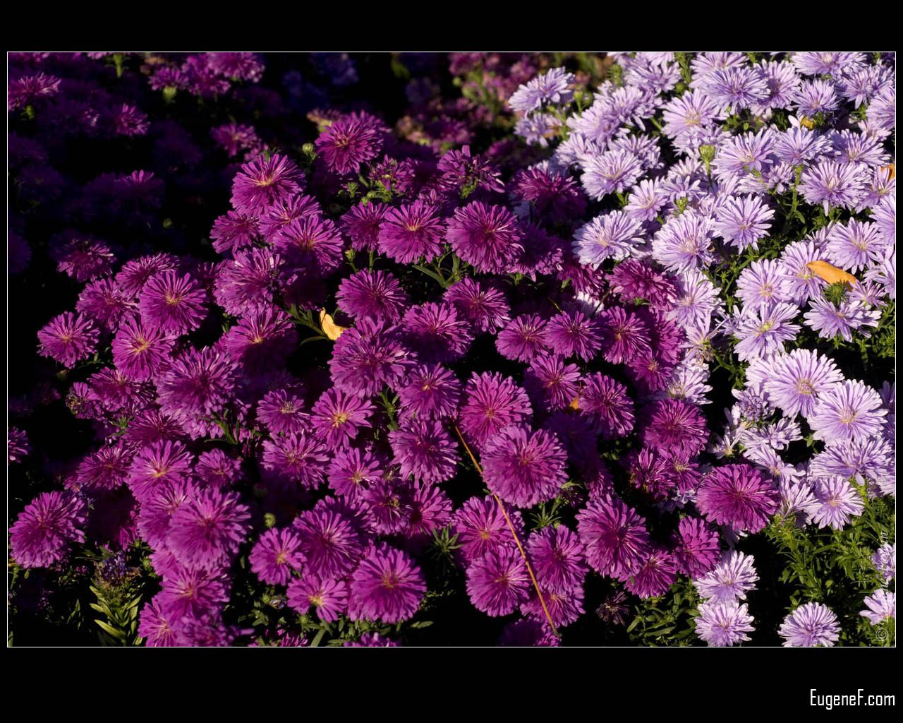 Western Aster and Purple Coneflower