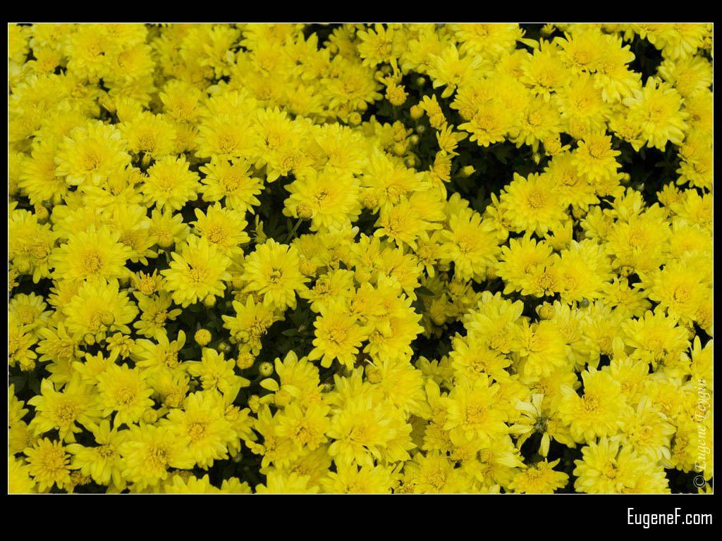 Daisies At Botanical