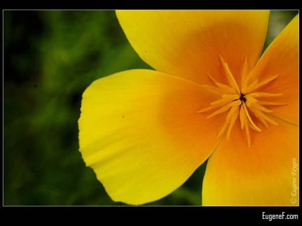 Side Yellow Pansies