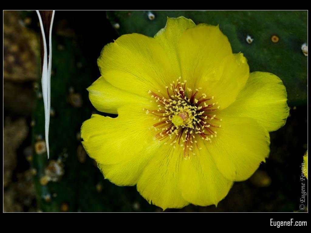 Yellow Portulacas