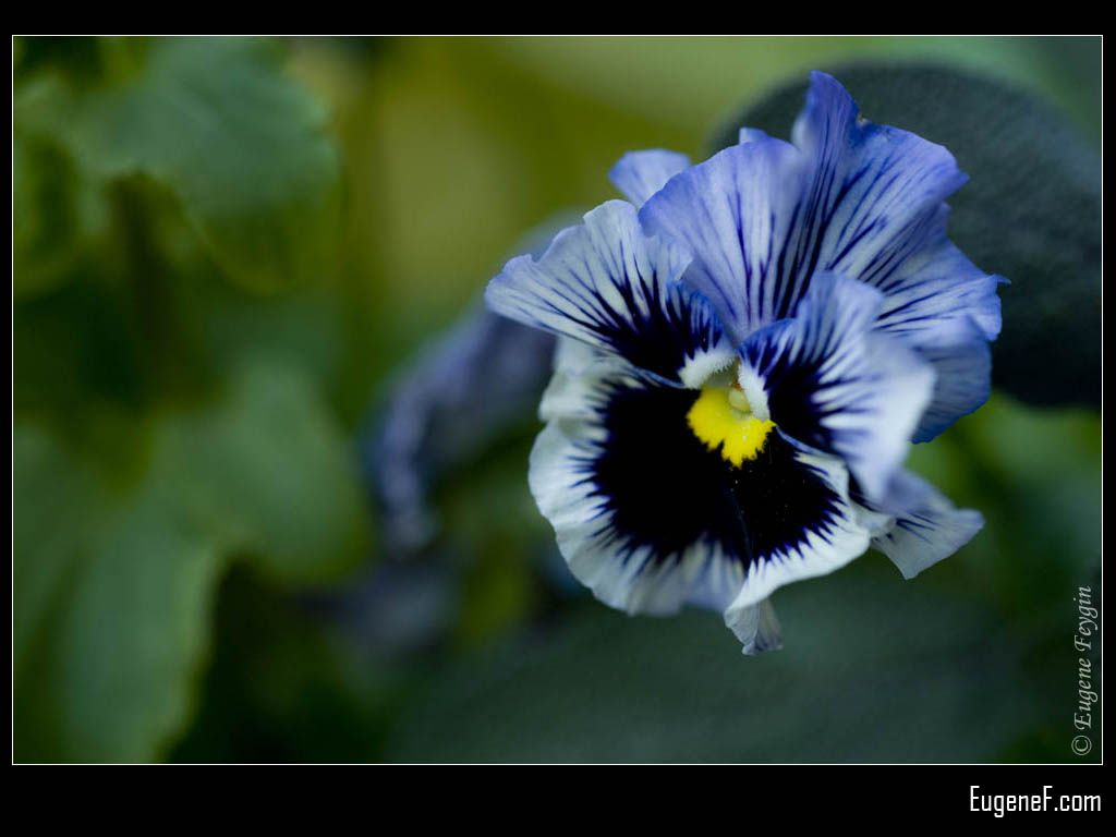 Blue Pansies Flower