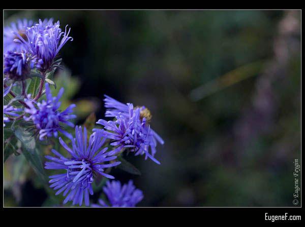 Chicory Flowers Macro