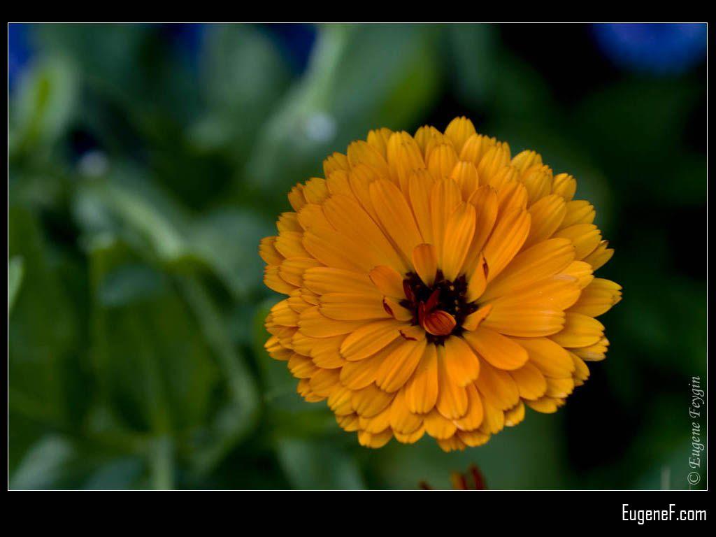 Orange Papaver Plant