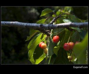 Red Wild Cherries