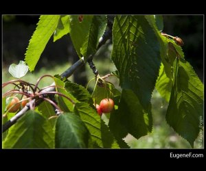 Unripened Cherries