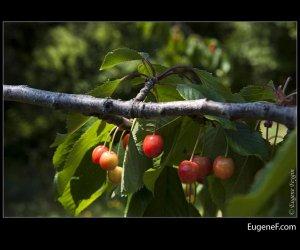 Wild Berry Plant