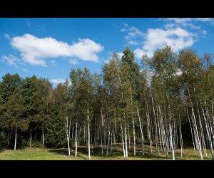 Famous Osipovichi Forest