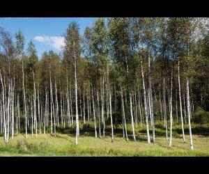 Osipovichi Forest in Minsk