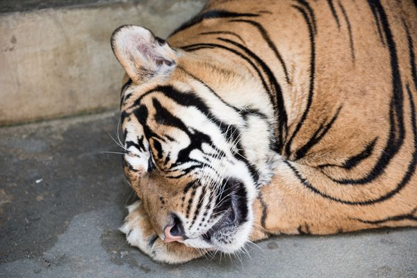 A Tiger Sleeping in Tiger Kingdom