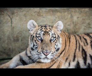 A Tiger Staring While Resting