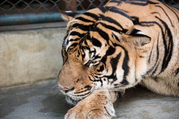 A Tiger in Joyous Mood