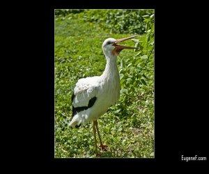 Austrian Bird