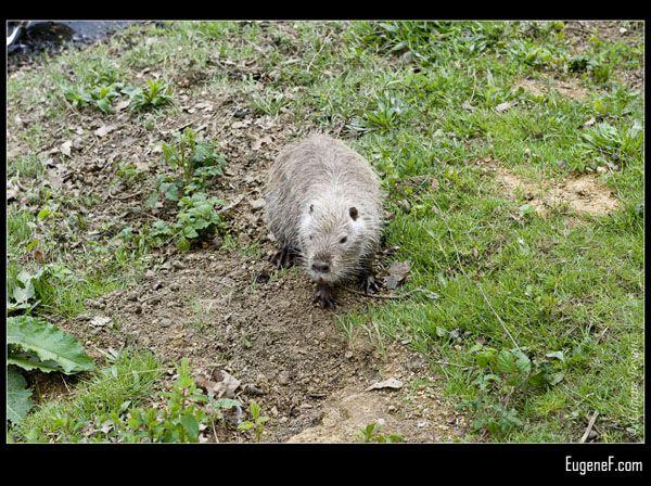 Crawling Beaver