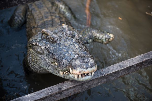 Crocodile Park in Siem Reap