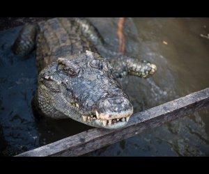 Crocodile Park in Siem Reap