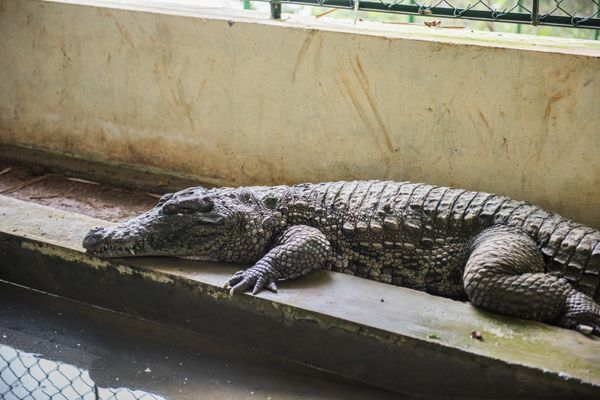 Crocodile Resting in Sanctuary