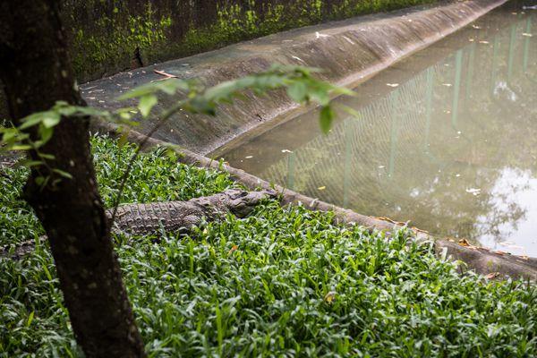 Crocodile in Neyyar Sanctuary