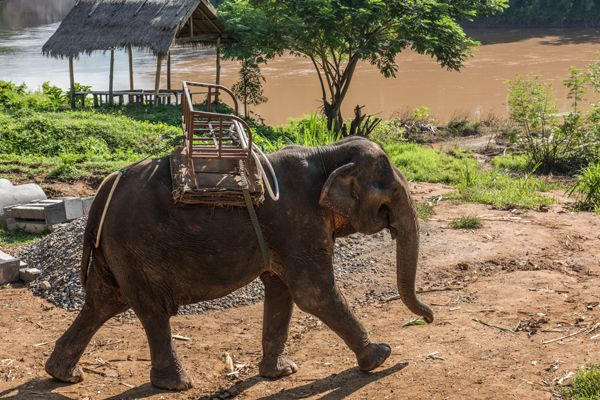 Elephant On Nam Khan River Banks