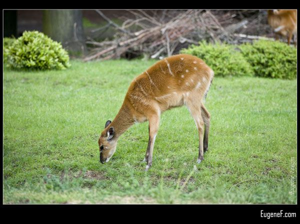 Fawn Eating