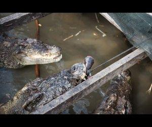 Feeding Time For Crocs