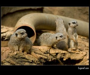 Four Meerkats