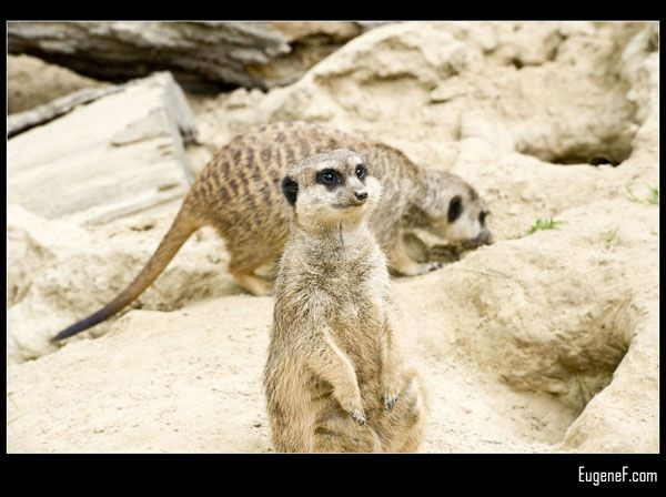 German Meerkats
