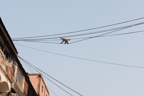 Monkey Walking on Cables