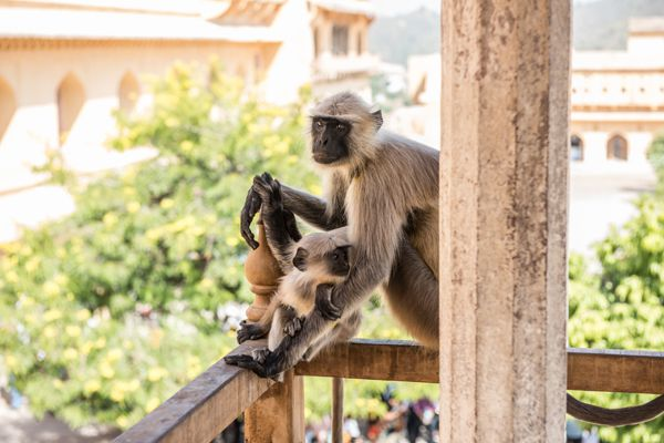 Monkey in Amber Fort