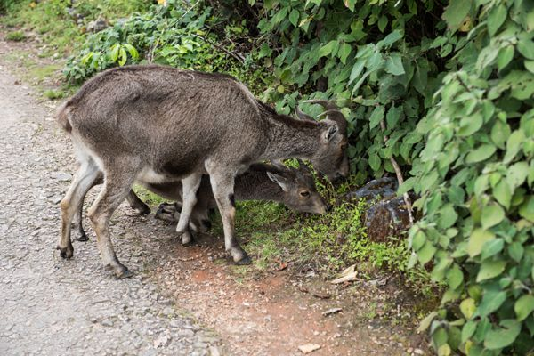 Nilgiri Ibex Eating Leaves