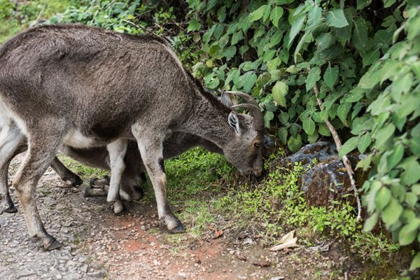Nilgiri Ibex and Calf