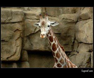 One Giraffe