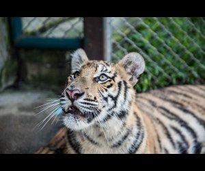 Rare View of A Tiger in Tiger Kingdom