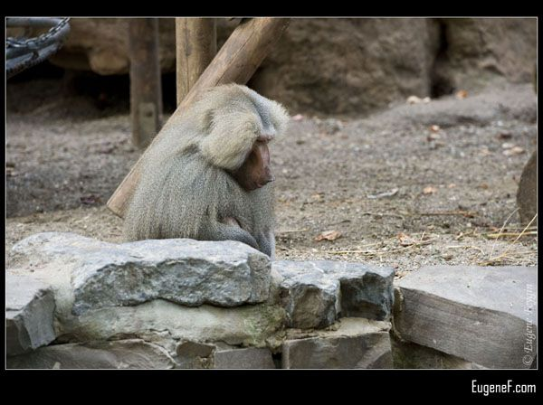 Sitting Baboon