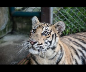 Tiger Kingdom in Chiang Mai (1)_2