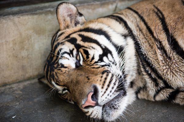 Tiger Sleeping Peacefully
