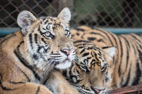 Tigers Inside Tiger Kingdom