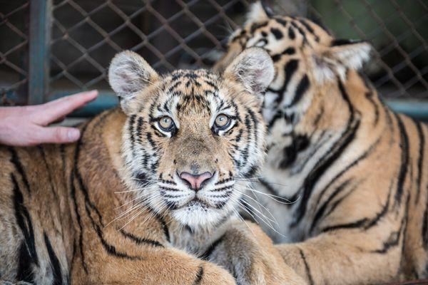 Tigers Staring in Tiger kingdom