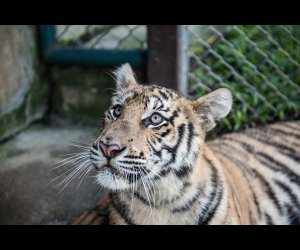Wildcat in Tiger Kingdom