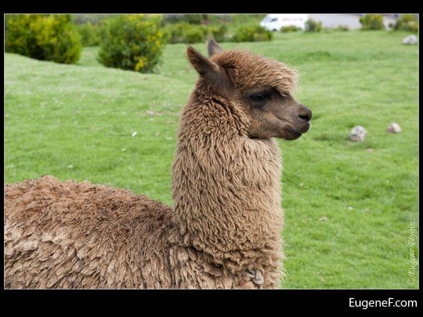 alpaca 04