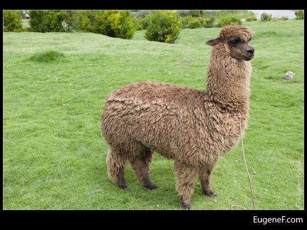 alpaca 06