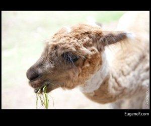 llama close up