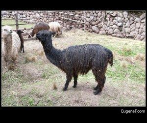 peruvian alpaca