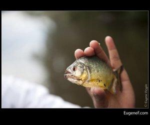 peruvian piranha