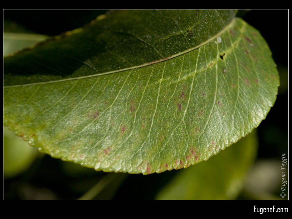 Macro Lemon Leaf