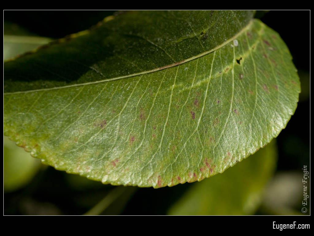 Macro Lemon Leaf