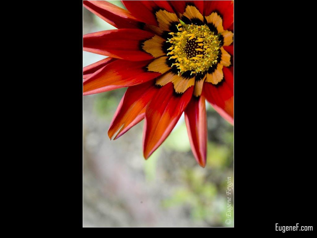 Joe Bell Flower