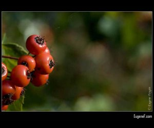 Orange Wild Berries